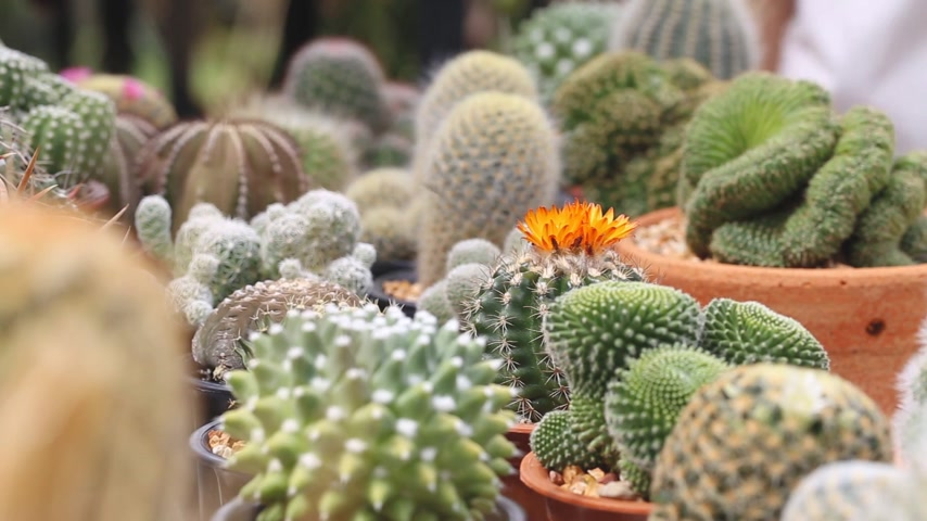 propagação : A female hand picking cactus from shelf in cactus garden, Thailand