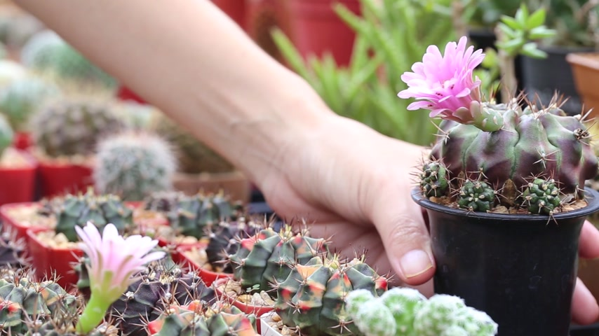 propagação : Cactus breeding by collecting pollen of flower in cactus garden, Thailand. Vídeos