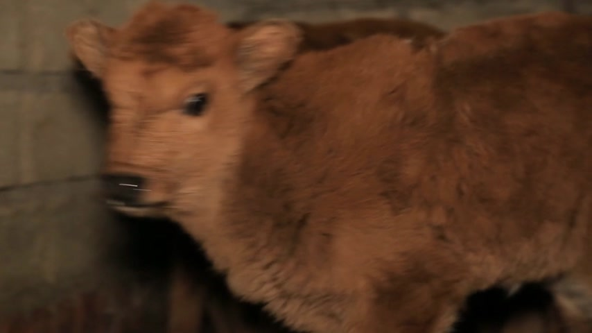 born calf : Small calf looks at the camera