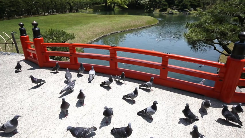 japan : Group of pigeons in the Japanese garden