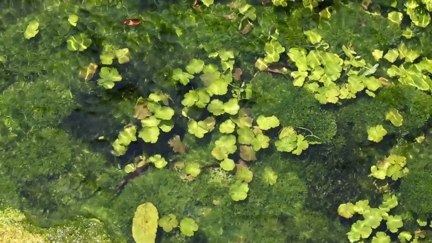 algler : algae in the river in shallow water