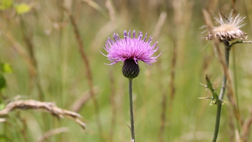 ortanca : flower of a thistle growing in a field