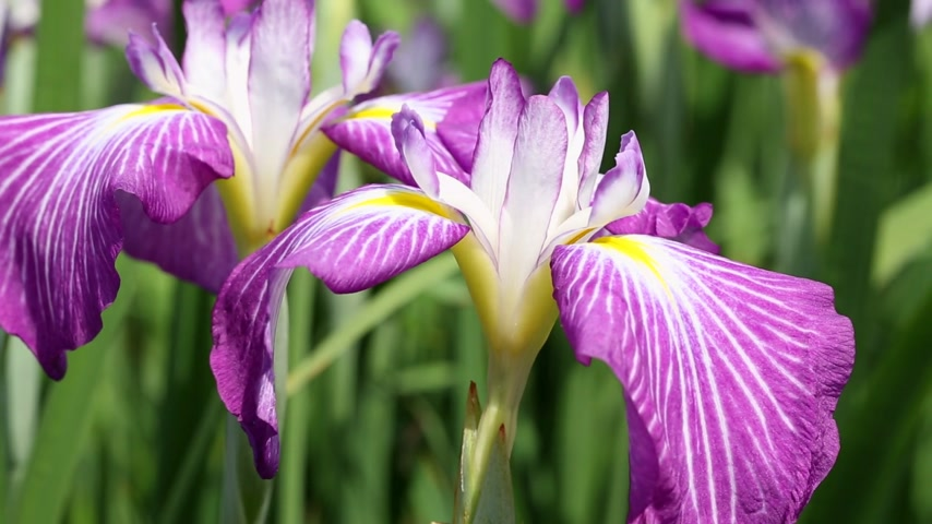 írisz : Iris flowers swaying in the wind Stock mozgókép