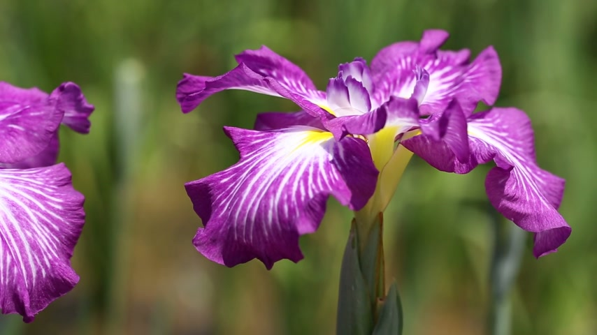 öv : Iris flowers swaying in the wind Stock mozgókép