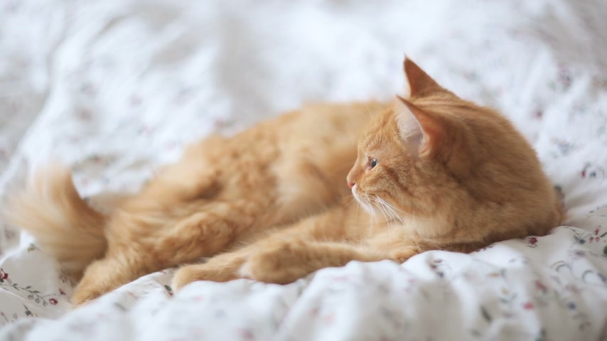 lying cat : Cute ginger cat lying in bed. Fluffy pet looks sleepy. Cozy home background. Stock Footage