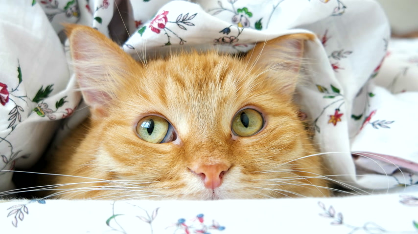 zvědavý : Cute ginger cat lying in bed under a blanket. Fluffy pet comfortably settled to sleep. Cozy home background with funny pet.