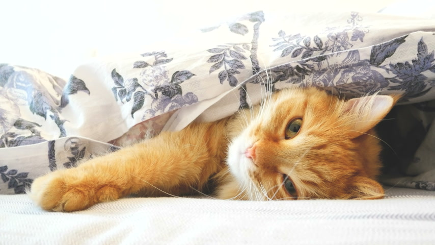 zázvor : Cute ginger cat lying in bed under a blanket. Fluffy pet comfortably settled to sleep. Cozy home background with funny pet.