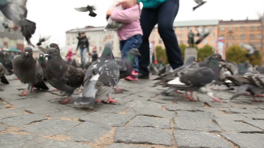 koşuşturma : Flock of pigeons searching for food on the Red square of Vyborg, Russia. Shooting from the bottom point