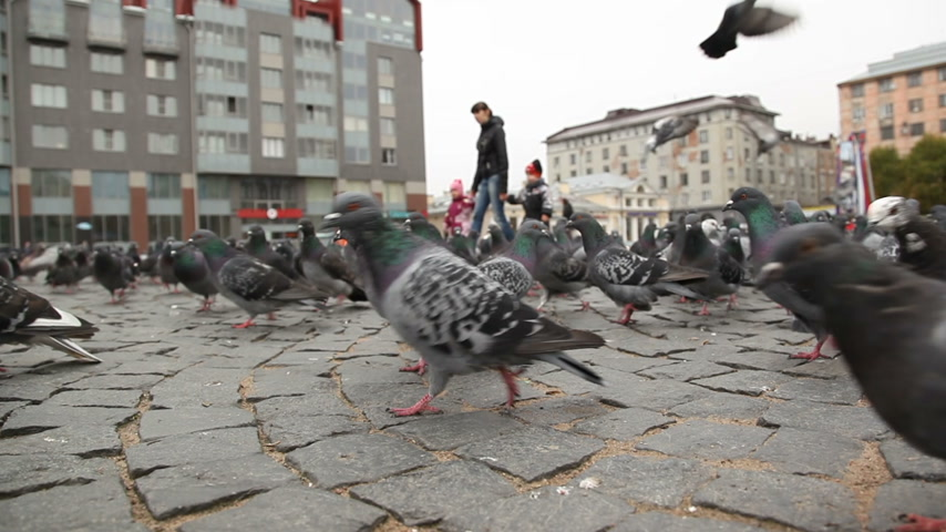 переполох : Flock of pigeons searching for food on the Red square of Vyborg, Russia. Shooting from the bottom point