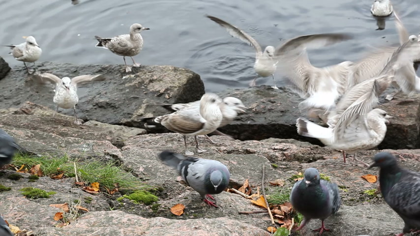 rock dove : Seagulls and doves chased each others from eating bread crumbs. Seacoast in Vyborg.