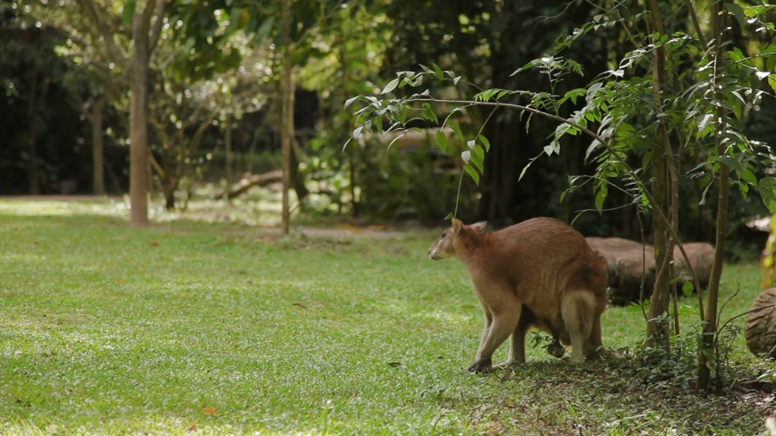 wallaby : Male wallaby eating grass, and cleaning itself Singapore Stock Footage