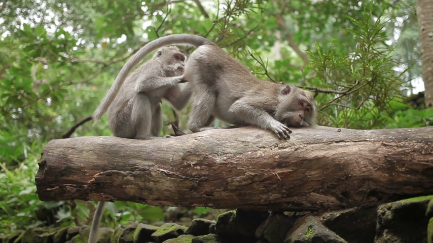mutual assistance : Monkeys on tree searching for insects in fur. Monkey forest in Ubud Bali Indonesia.