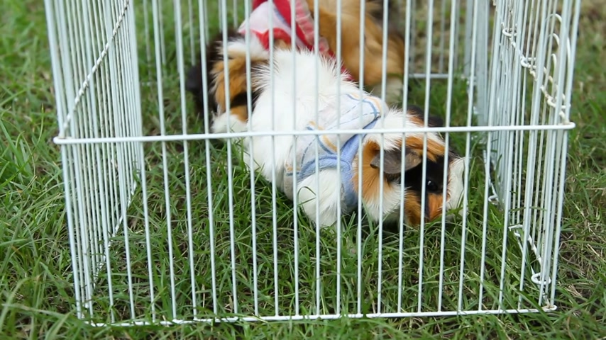 świnka morska : Two Guinea pigs in costumes eat the grass, sitting on the lawn under the cage. Thailand.