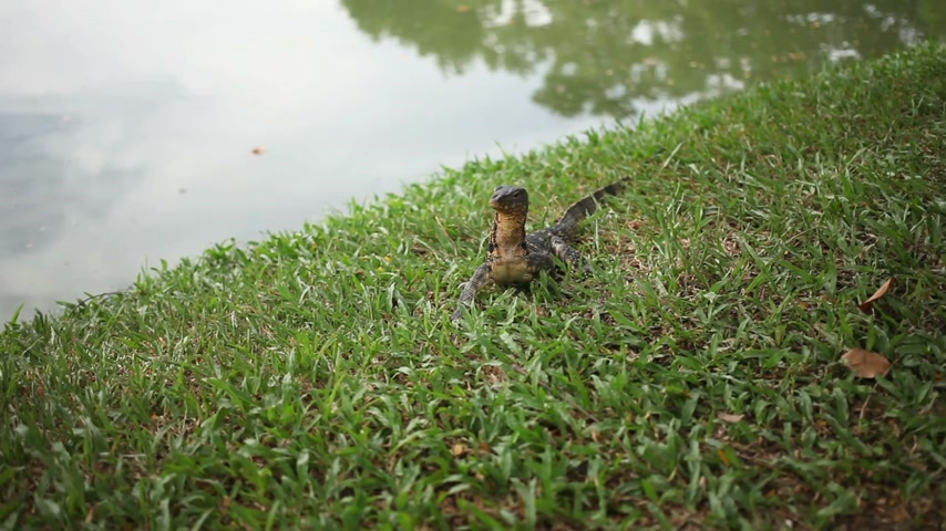 сокрытие : Monitor lizard crawling on the grass under a tree in Lumpini Park. Bangkok, Thailand.