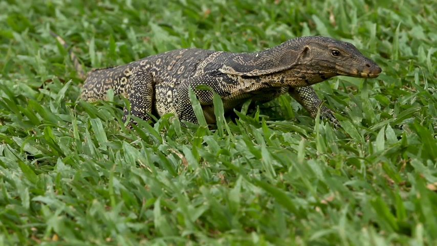 сокрытие : Monitor lizard crawling on the grass in Lumpini Park. Bangkok, Thailand.