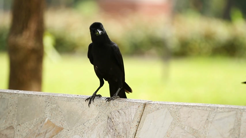 young bird : Young raven sitting on stone. Lumpini park. Bangkok, Thailand,