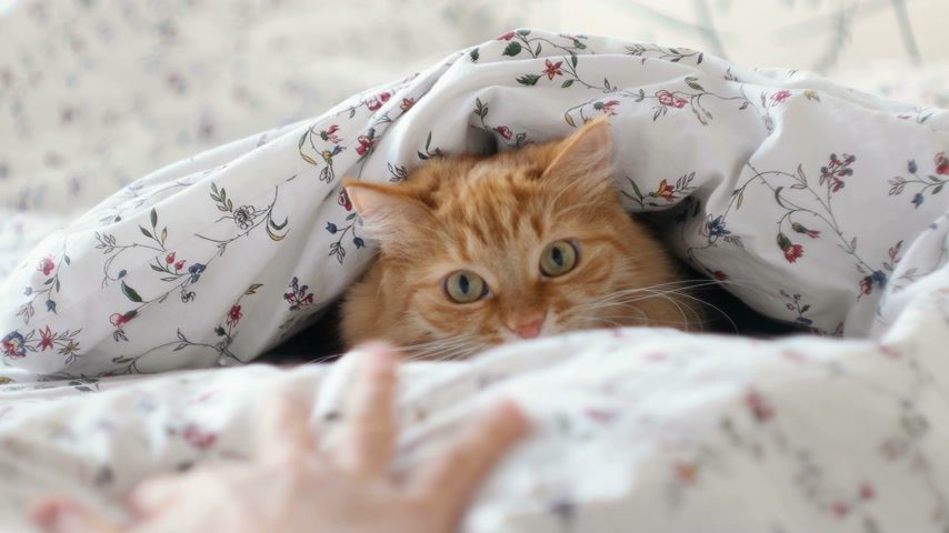 dilated pupil : Cute ginger cat lying in bed. Fluffy pet hiding under blanket, looking curiously on moving hand. Cozy home background with funny pet. Stock Footage