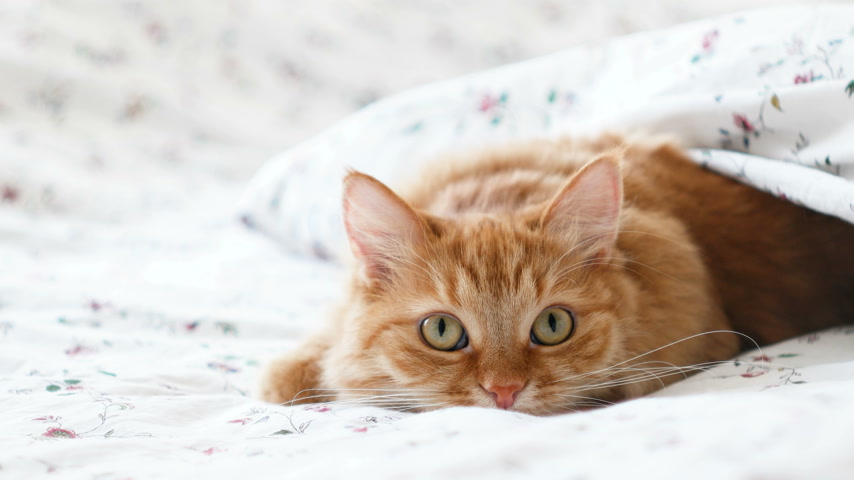 dilated pupil : Cute ginger cat lying in bed. Fluffy pet comfortably settled to sleep under blanket, then suddenly attacked something behind the scene. Cozy home background with funny pet Stock Footage