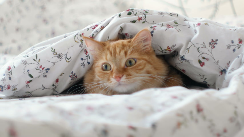 dilated pupil : Cute ginger cat lying in bed. Fluffy pet hiding under blanket, looking curiously on something moving under a sheet. Cozy home background with funny pet. Stock Footage