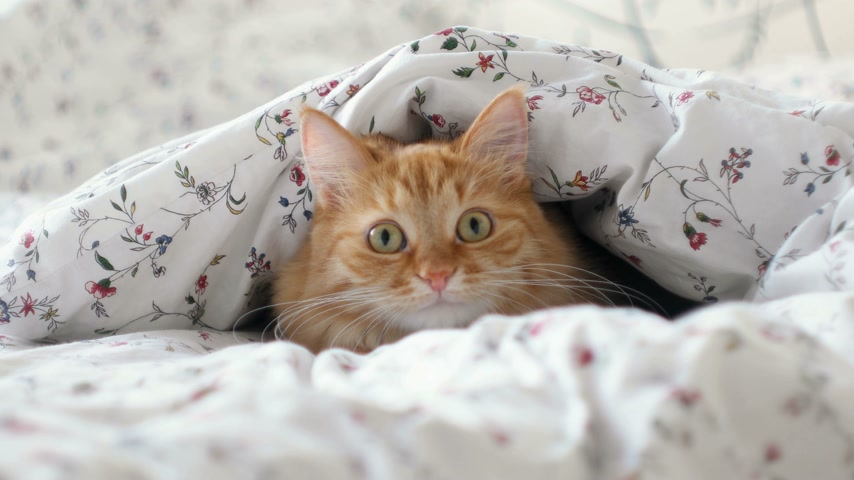 dilated pupil : Cute ginger cat lying in bed. Fluffy pet hiding under blanket, looking curiously on something moving behind the scene. Cozy home background with funny pet.