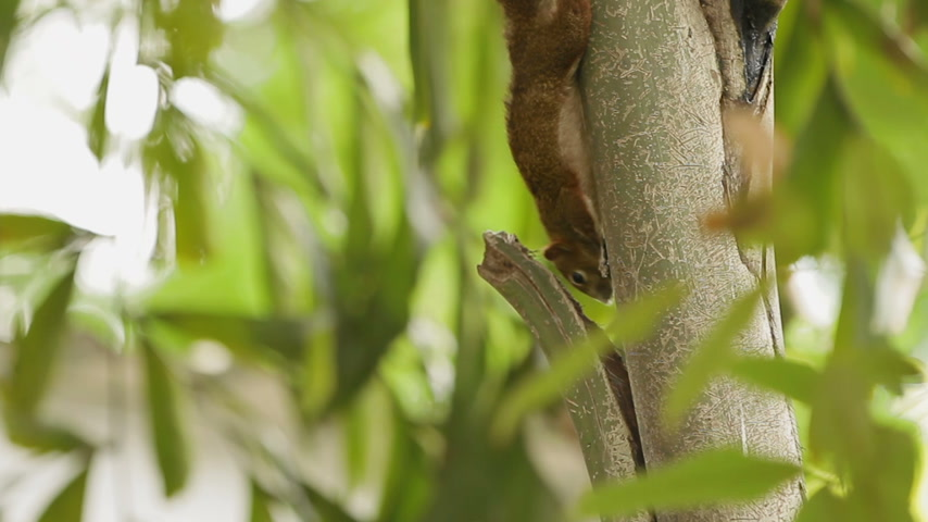 palm squirrel : Squirrel crawls upside down on the trunk of a palm tree. Lumpini park in Bangkok, Thailand.