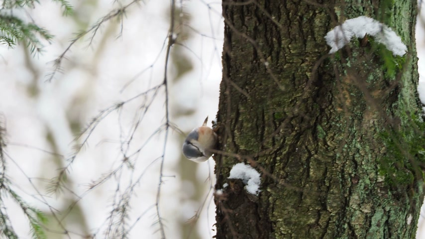 stash : Eurasian nuthatch or wood nuthatch (Sitta europaea) hides food into tree bark. Colorful bird in winter forest. Stock Footage