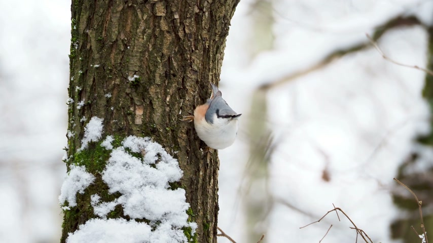 stash : Eurasian nuthatch or wood nuthatch Sitta europaea hides food into tree bark. Colorful bird in winter forest. Stock Footage
