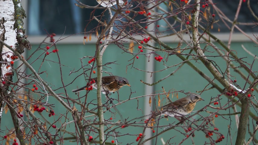 üvez ağacı : Fieldfare Turdus pilaris eating frozen rowan tree berries. Close up footage of colorful bird in winter day. Stok Video