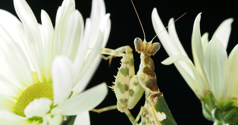 munch : Creobroter meleagris mantis in flower. Stock Footage