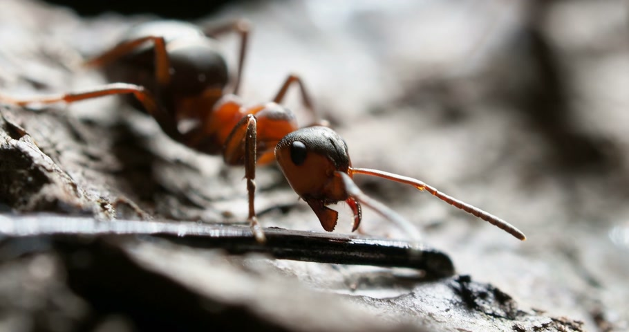 муравей : Macro footage with moving ant. Smart insect wiggles his mandibles.