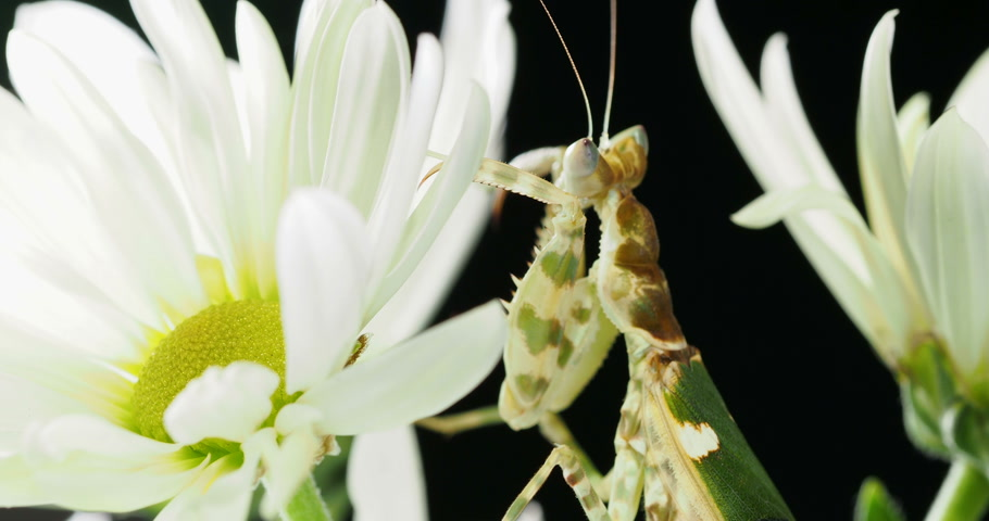 çiğnemek : Creobroter meleagris mantis in flower. Stok Video