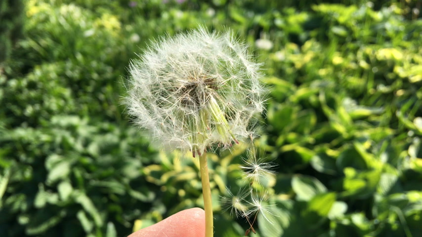 хрупкий : Dandelion (Taraxacum) seeds - pappus - flying away with the wind.
