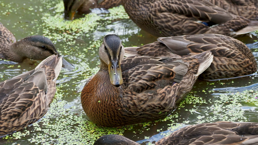 se movendo para cima : Flock of brown colored ducks swimming in pond. Birds are looking for food in the water overgrown with duckweed. Stock Footage