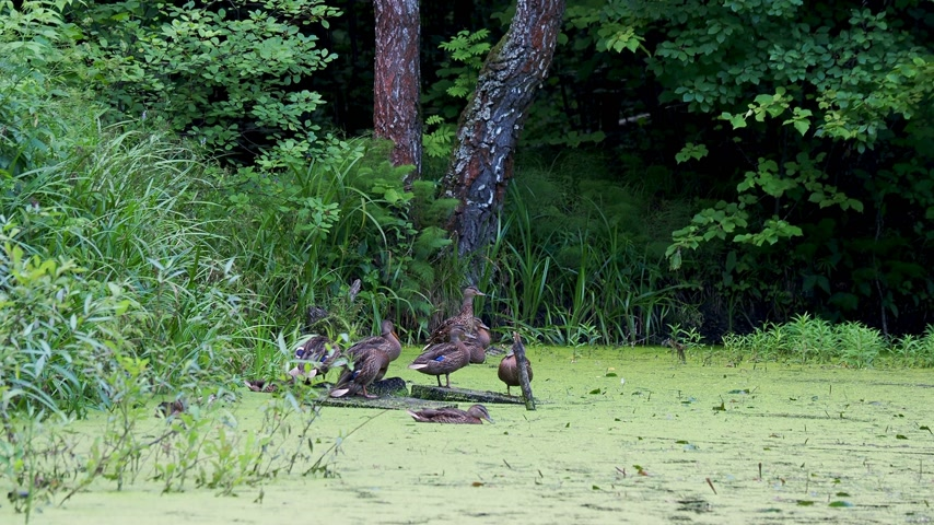 observação de pássaros : Flock of brown colored ducks staing near pond in forest. Birds are resting near water overgrown with duckweed.