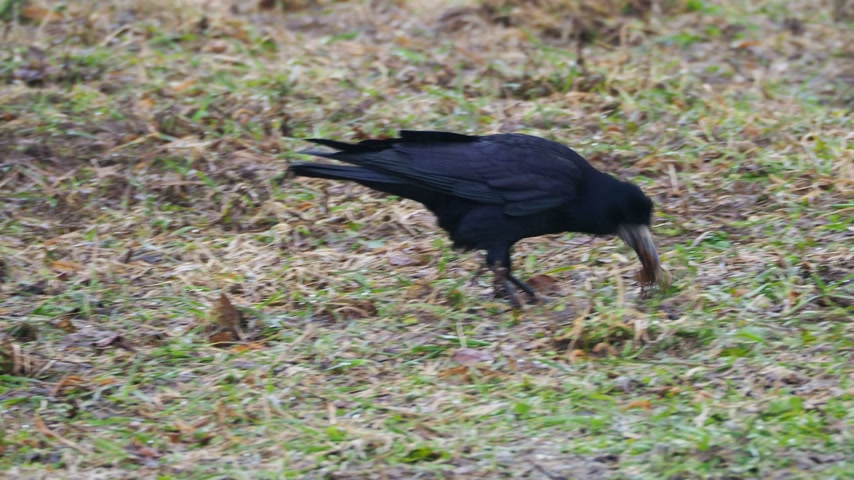 karga : Big black raven is searching for food