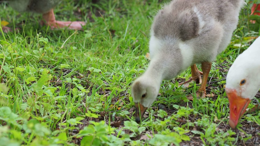 koşuşturma : Flock of geese and small fluffy gosling are searching for food in green grass. Poultry grazing