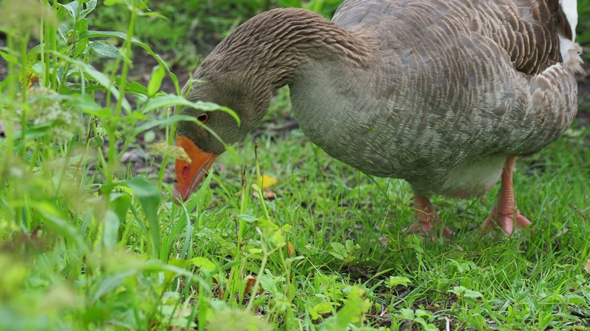 koşuşturma : Goose is searching for food in green grass. Poultry grazing near the pond. Stok Video