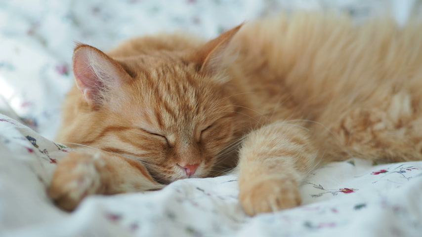 cobertor : Cute ginger cat is sleeping in bed. Fluffy pet dozing. Cozy home background, morning bedtime. Vídeos