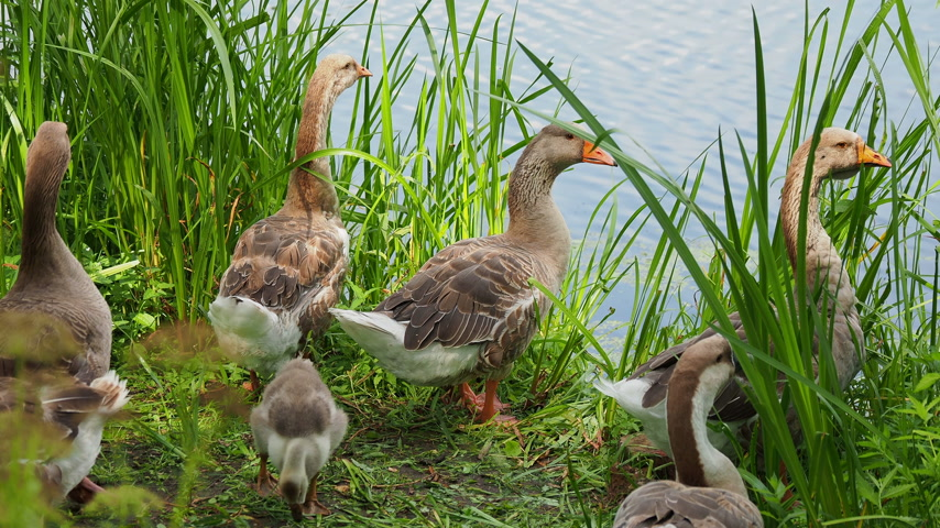 koşuşturma : Flock of geese and small fluffy gosling are searching for food in green grass. Poultry grazing near the pond.