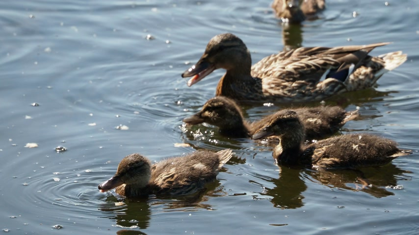 koşuşturma : Flock of brown colored ducklings swimming in river. Birds are looking for food in water.