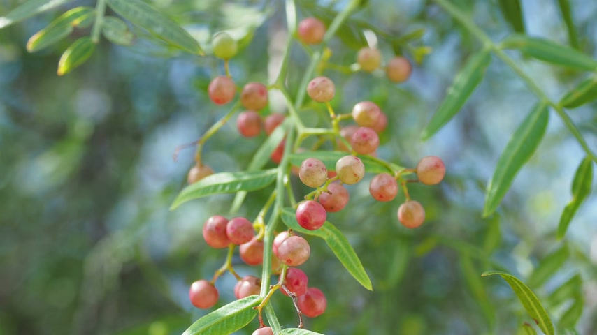 peppercorn : Pink peppercorn (baie rose, pink berry). Schinus molle or Peruvian peppertree.