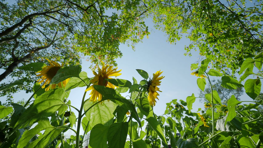 sementes : Field of bright yellow ripe sunflowers. Rural scene in sunny day. Stock Footage