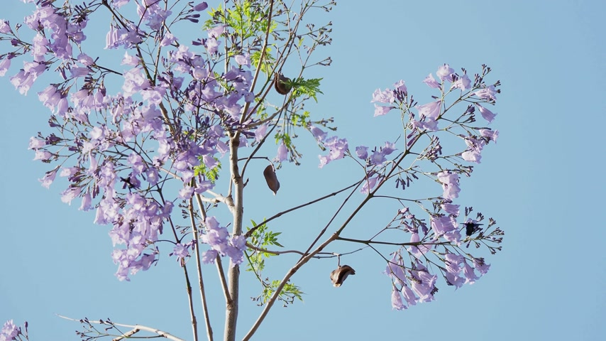 pulyka : Blooming Jacaranda mimosifolia, also known as jacaranda, blue jacaranda, black poui, or as the fern tree. Turkey. Stock mozgókép