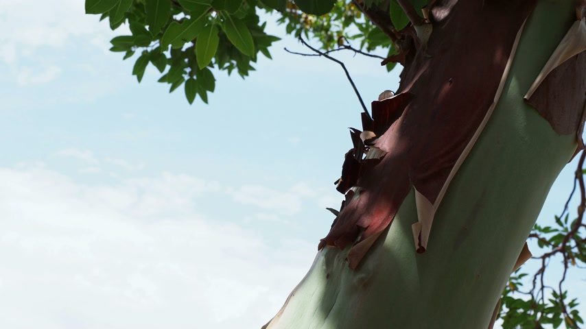greek : Greek strawberry tree (Arbutus andrachne), evergreen shrub. Woman peeling tree bark. Turkey. Stock Footage