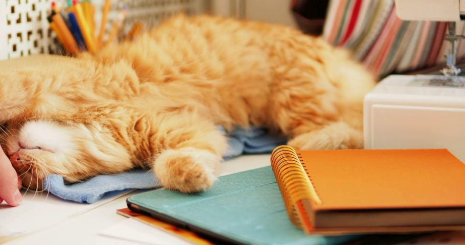 papeteria : Cute ginger cat is lying among office supplies and sewing machine. Fluffy pet playing with man hand on stationery. Cozy home background.