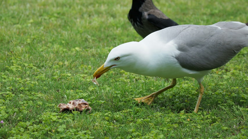 nyel : Seagull eat leftovers. Bird quickly swallows something edable.