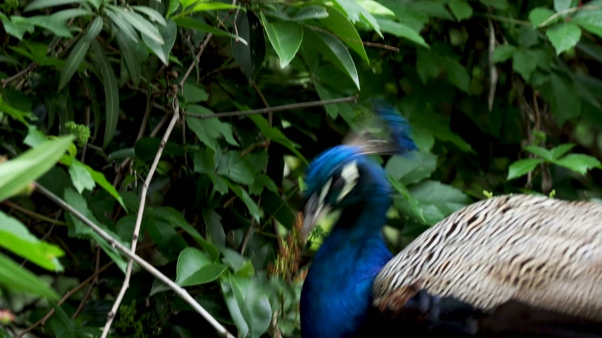 cristatus : Indian (blue) peafowl or peacock (Pavo cristatus). Stock Footage