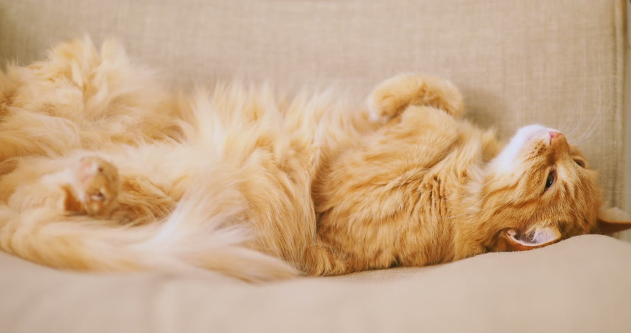 домашнее животное : Cute ginger cat sleeping on beige chair. Fluffy pet dozing belly up. Cozy home.