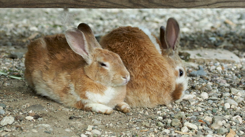 rabbit ears : Pair of brown fluffy rabbits sitting on ground. Stock Footage