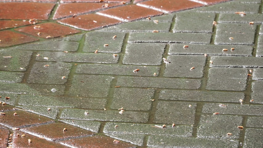 pingos de chuva : Puddle surface with raindrop circles. Paving slab pavement under the rain.
